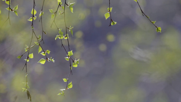 Lövspricka - Birch leaves moving in a gentle spring breeze