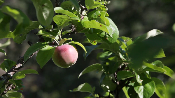 Äpple på trädet -  Red ripe apple hanging on a tree.