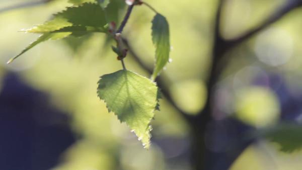Färsk björklöv på våren - Birch tree in spring