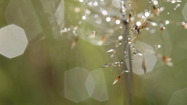 Dagg glittrar på gräs - Dewdrops are glittering on  flowering grass.
