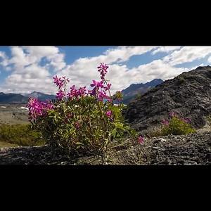 7.12 Matanuska Terminus Flower TL 4