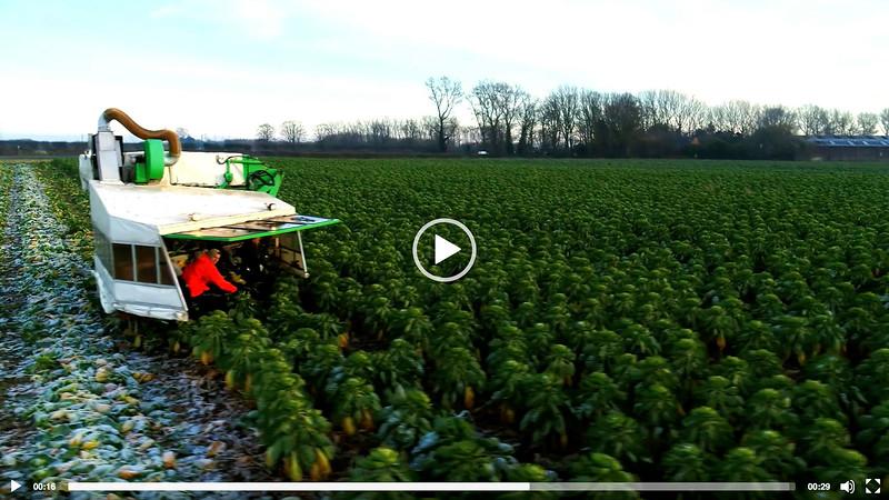 ASDA - Brussel Sprout Harvest