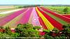 ASDA - Tulips