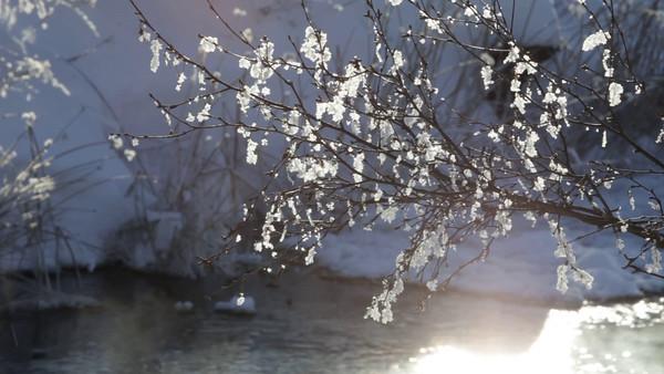Rimfrost växer på träd nära bäcken -  Hoarfrost-covered birch twigs in front of a steaming river in winter