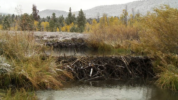 Beavers: Creators of Habitat  Utah's beaver populations have recovered since the days when they were trapped by mountain men. The Utah Division of Wildlife Resources has drafted a new management plan that outlines how beavers play a role in habitat restoration.