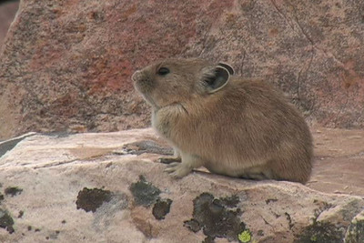 Pikas in Utah  Interview with DWR biologist Kevin Labrum on pika populations in Utah.