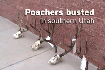 Poachers Caught in Southern Utah  Acting on a tip received on the Utah Turn-in-a-Poacher (UTiP) hotline, DWR officers and Garfield County Sheriffs deputies served a search warrant on a home and shed in Panguitch on Saturday, May 23 and Monday, May 25. After serving the warrant, the officers found the heads of eight mule deer bucks, one mule deer doe and two pronghorn bucks. The suspects in the case also admitted taking one more mule deer buck and an additional mule deer doe, making it one of the biggest poaching cases in southern Utah in recent memory.