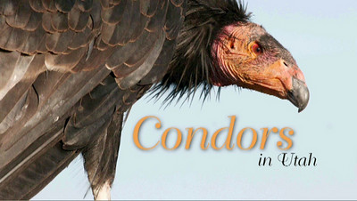 Flying giants-rare California condors return to Utah skies  California condors are among the largest, rarest birds in North America, and you'll find them soaring over the red-rock cliffs of Southwestern Utah.