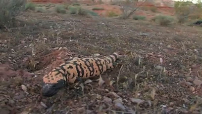 Gila Monsters in Utah  On the hunt for gila monsters in southern Utah.