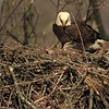 4 days old eaglet