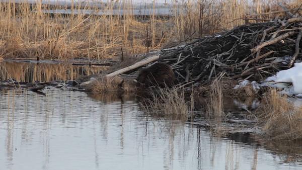 Bäver på våren -  Beaver gnawing a birch branch on its lodge
