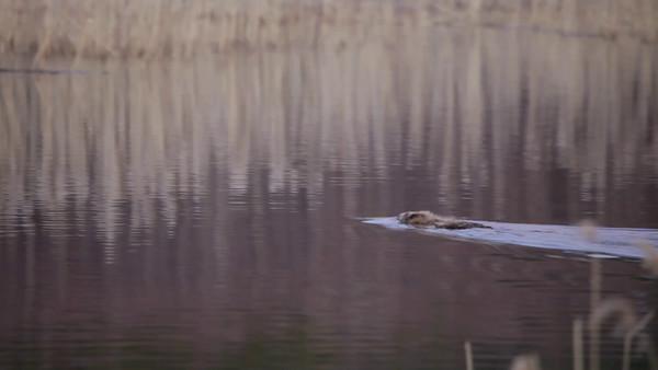 En bäver simmar i sjön - Beaver swimming over a lake