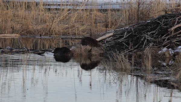 Bäver på våren -  Two beavers at their lodge