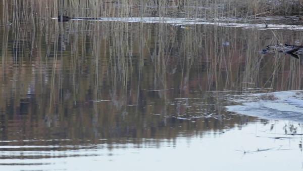 Bäver på våren -  Beaver swimming and splashing with its tail