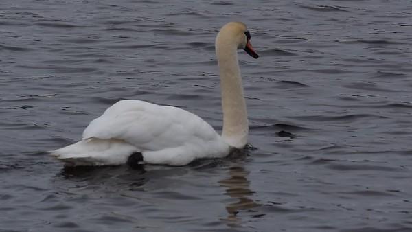 Knölsvan - Tracking shot following a mute swan as he swims over an ocean bay