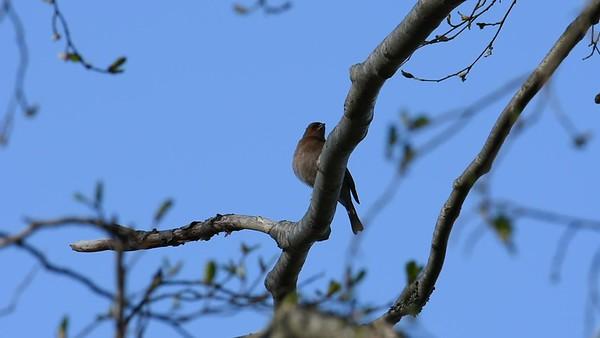 Bofinken sjungar på våren - Common chaffinch sitting on a tree, singing