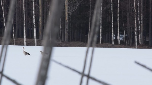 Gäss på vårvintern - Wild geese in early spring