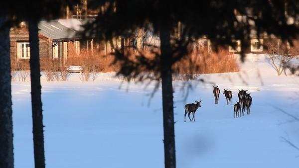 Kronhortar står på isen - Red deer on a frozen bay