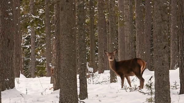 Kronhjortar i vinterskogen - Red deer in a snowy forest