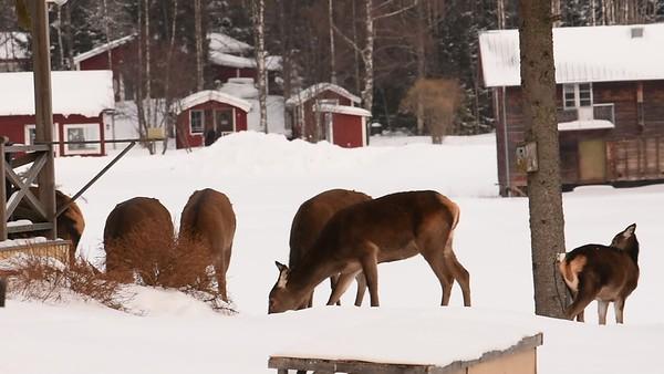Kronhjort söker föda i byn - Red deer are searching food in a village