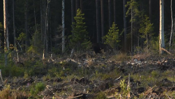Älg på kalhygge - Moose searching food on a clear-felled forest area