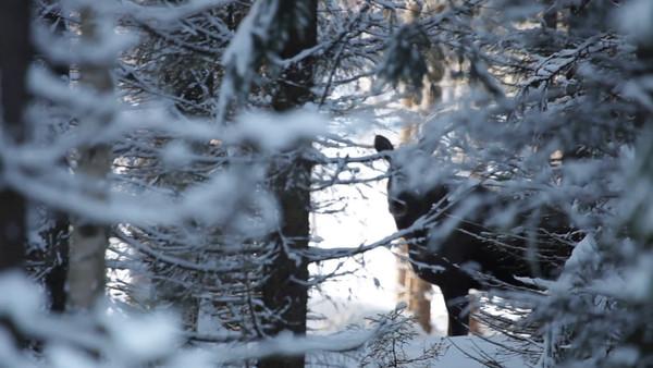Älg i snöig skog -  Moose cow standing in winter forest