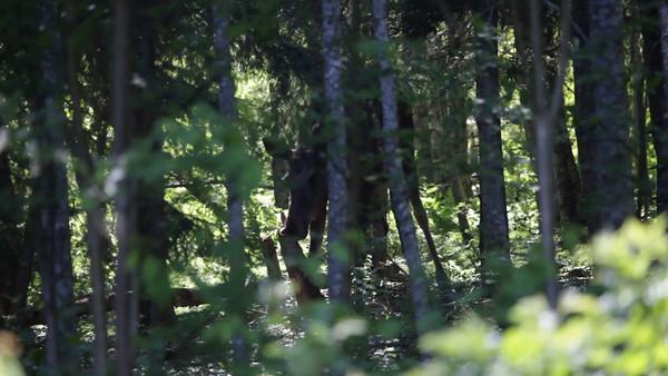 En älg knaprar på en gammal stubbe - Moose nibbles off a rotting tree stump