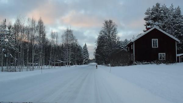 Renar i skogen på vintern - Reindeer in the snowy forest