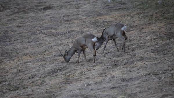 Rådjur söker foder på en äng i April -  Roe buck and doe grazing on a meadow in early spring