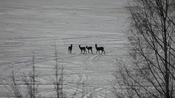 Rådjur korsar en frusen sjö - Roe deer are crossing a frozen lake