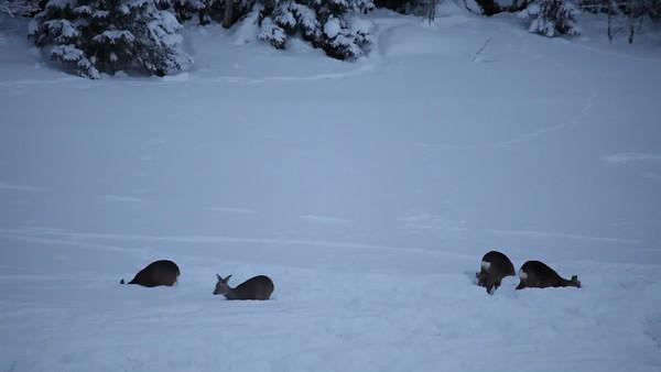 Rådjur söker föda under djup snö på vintern - Roe deer are burrowing into deep snow to search for food