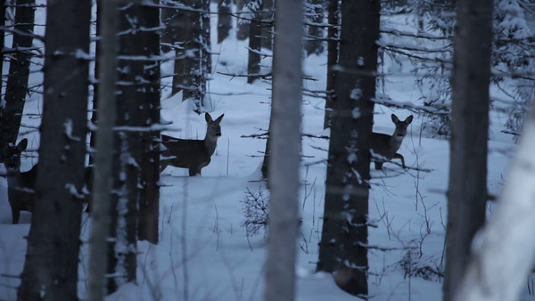 Rådjur i vinterskogen -  Roe deer standing and watching in a wintry forest at dusk