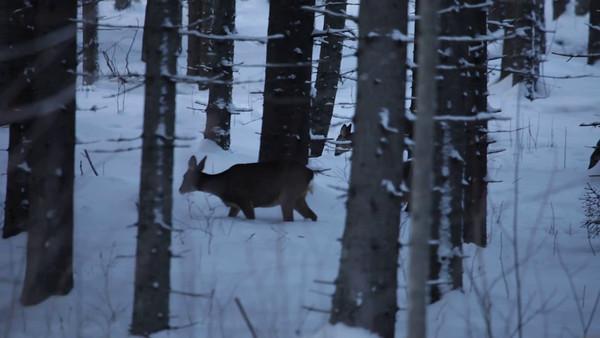 Rådjur i vinterskogen -  Roe deer searching food in a snow covered fir forest at dusk