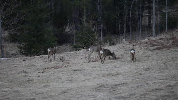 Rådjur söker foder på en äng i April -  Group of roe deer searching food in early spring