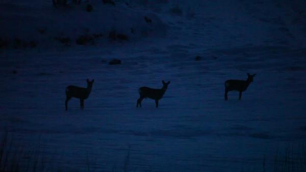 Rådjur på e snöklädd äng på natten - Roe deer on a snowy meadow at night