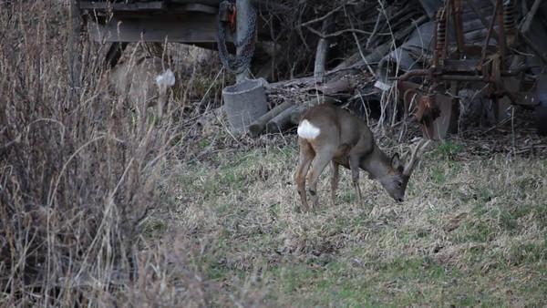 Rådjur söker foder på en äng i April -  Roe deer buck (Capreolus capreolus) grazing on a meadow
