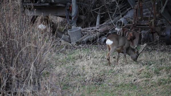 Rådjur söker foder på en äng i April -  Roe deer (Capreolus capreolus) grazing near a farm
