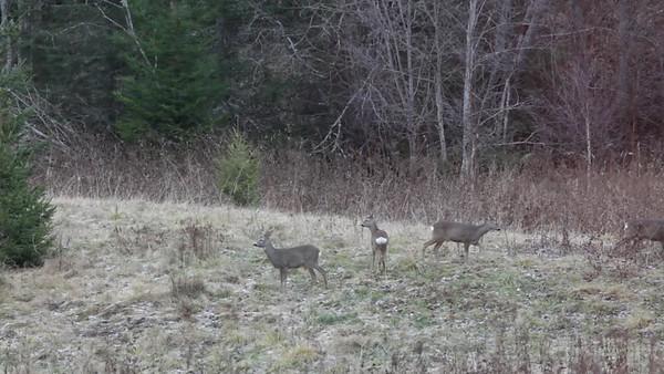Rådjur på en äng på hösten - Roe deer are grazing on a meadow in autumn