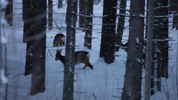 Rådjur i vinterskogen -  Roe deer searching food in a snow covered forest at dusk