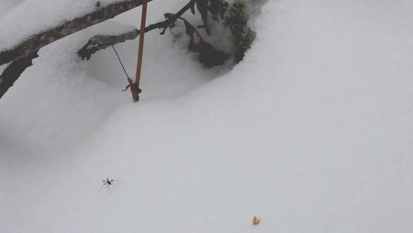 Ett små insekt jagar på snön -  Predatory bug stalking over snow