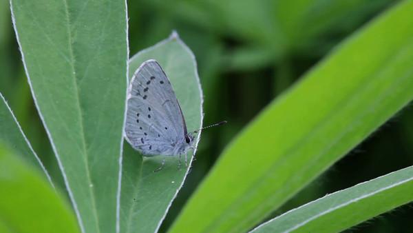 Blå fjäril på lupinblad - A blue gossamer-winged butterfly rests on a lupine leaf.