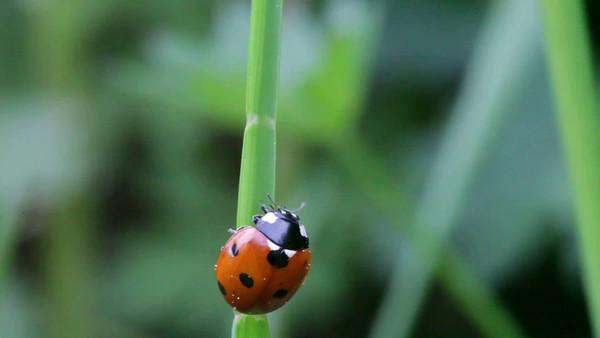 En röd nyckelpiga på ett grässtrå -  Seven-spotted ladybug on a blade of grass