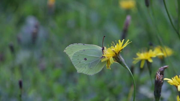Citronfjäril - Butterfly Common Brimstone  on a flower