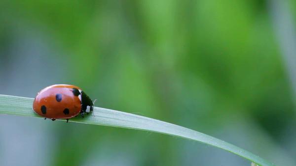 En röd nyckelpiga på ett grässtrå -  Seven-spotted ladybug scuttling down on a blade of grass