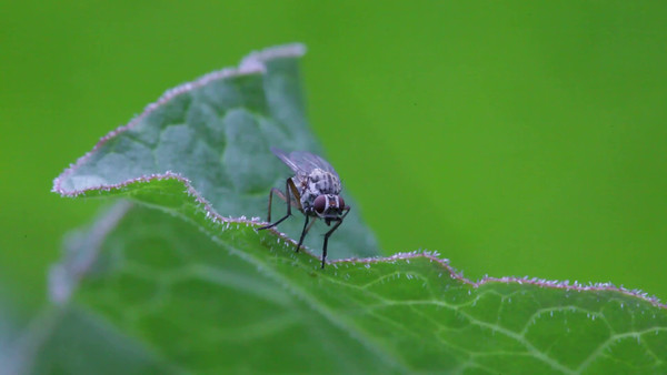 En fluga sittar på ett blad -  A fly sits on a leaf, then it suddenly flies away.