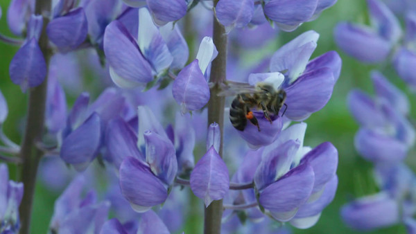 En bi sammlar pollen från blomstrande lupiner -  A honey bee gathers pollen from a lupine