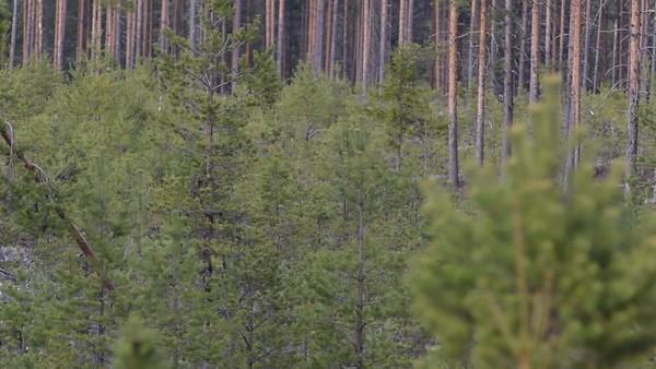 Brunbjörn mamma med två ungar i vårskogen – Bear mother with two cubs in the forest