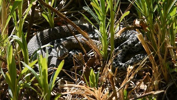 Svarta huggormar parar sig på våren - Mating black vipers - timelapse