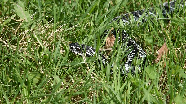 Huggorm på gräsmattan - Viper on a lawn in spring