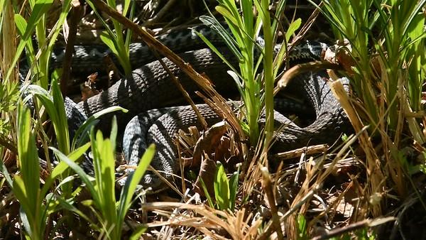 Svarta huggormar parar sig på våren - Mating black vipers